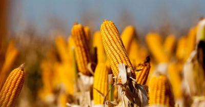 manejo de percevejos no milho