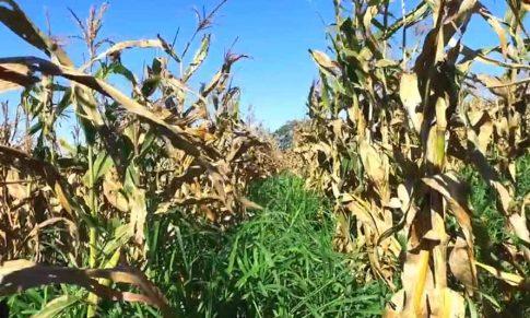 Consórcio de culturas com o milho safrinha em sistemas de produção