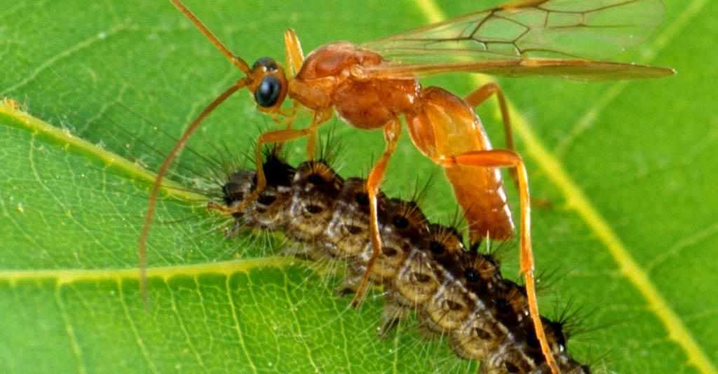 Controle biológico de insetos-praga na agricultura
