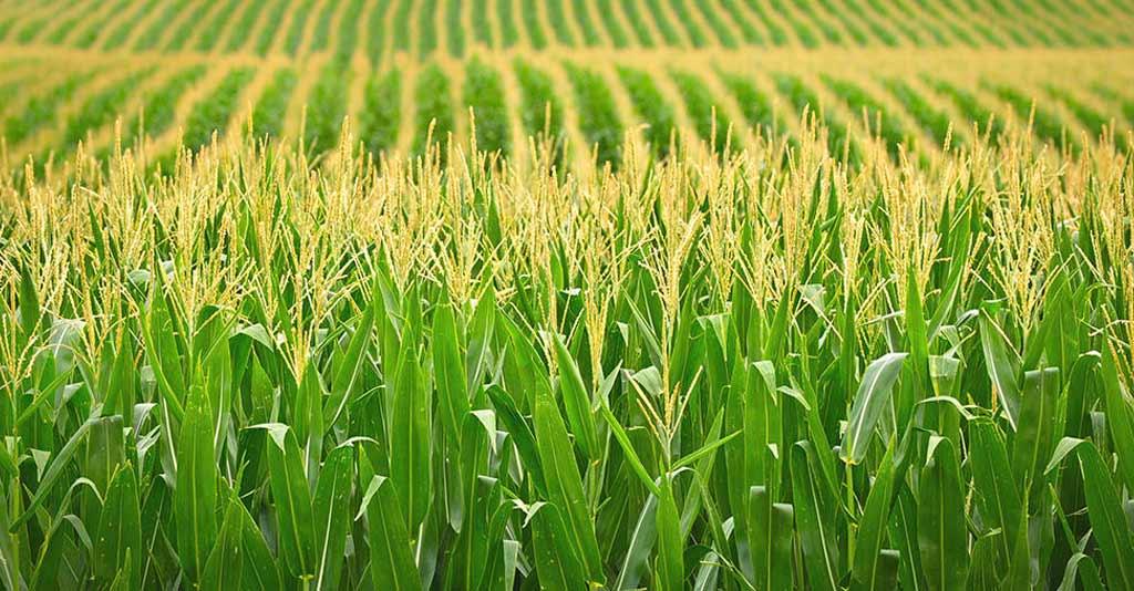 lavoura de milho