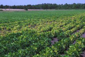 Como realizar o manejo de nematoides em sistemas de produção agrícola