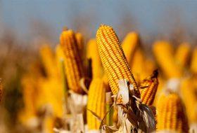 Como realizar o manejo de percevejos no milho e ter melhores resultados