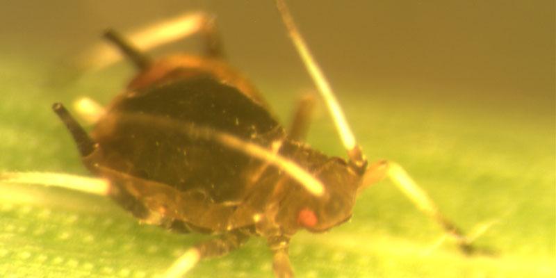 Pulgão-preto-do-citrus (Toxoptera citricidus)