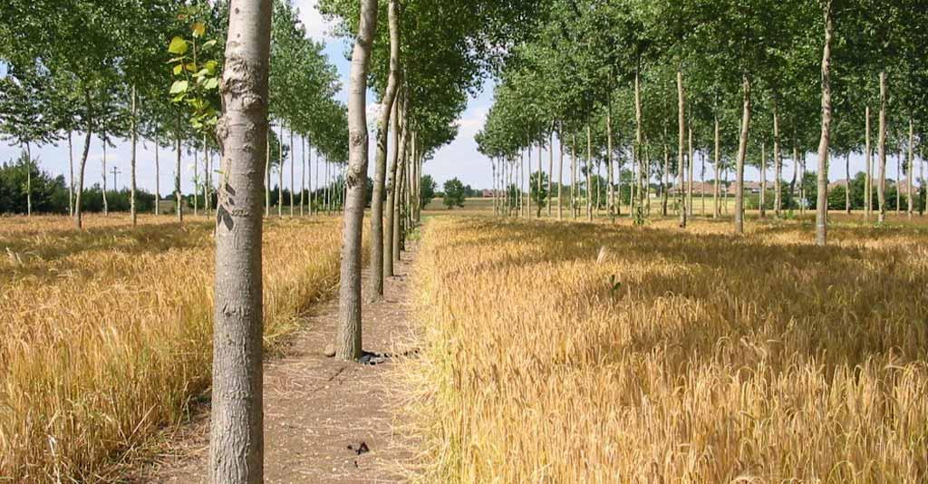 O potencial dos Sistemas Agroflorestais para o Agronegócio brasileiro